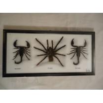 Fugle edderkop og 2 scorpioner