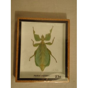 Blad insekt
