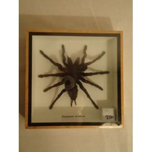 Fugle edderkop